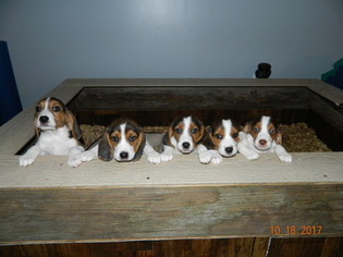 Beagle Puppy for sale in WALNUT, IA, USA