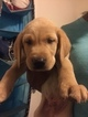 Labrador Retriever Puppy For Sale in OXFORD, NC