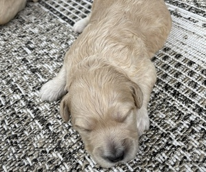 Goldendoodle Puppy for Sale in PLYMOUTH, North Carolina USA