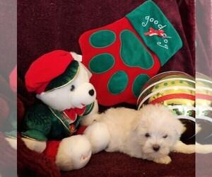 Maltese Puppy for sale in CASSVILLE, MO, USA