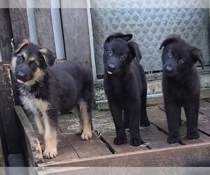 German Shepherd Dog Dog for Adoption in RIDGELAND, South Carolina USA