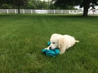 Golden Retriever Puppy For Sale in MILLERSBURG, OH