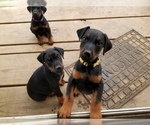 Small #19 Doberman Pinscher