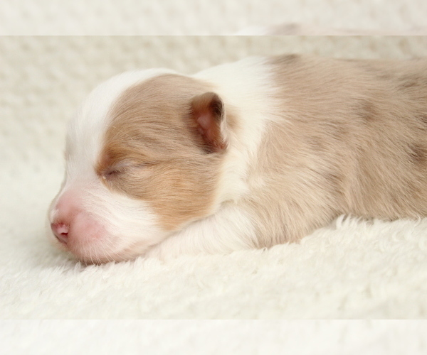 Medium Photo #16 Australian Shepherd Puppy For Sale in CARMEL, IN, USA