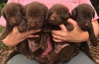 Labrador Retriever Puppy For Sale in CARROLLTON, GA