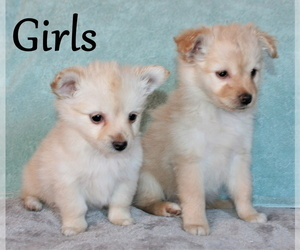 Pomeranian Puppy for sale in LAKESIDE, CA, USA