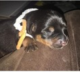 Rottweiler Puppy For Sale in SACRAMENTO, CA