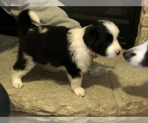 Border Collie Puppy for Sale in ELGIN, Illinois USA