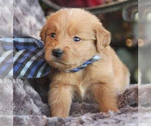 Golden Retriever Puppy for sale in SAVANNAH, GA, USA
