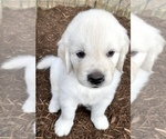 Small #7 English Cream Golden Retriever