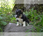 Small Photo #5 Pembroke Welsh Corgi Puppy For Sale in TUPELO, MS, USA
