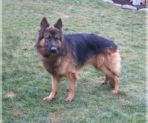Father of the German Shepherd Dog puppies born on 07/25/2020