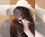 Small #4 Aussiedoodle