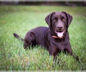 Father of the Labrador Retriever puppies born on 11/26/2020