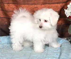 Maltichon Dog for Adoption in PENNS CREEK, Pennsylvania USA