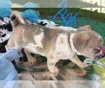 Small #7 French Bullhuahua
