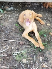 Vizsla Puppy For Sale near 20607, Accokeek, MD, USA