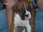 Boxer Puppy For Sale in ELKLAND, MO