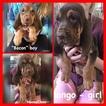 Bloodhound Puppy For Sale in PLANTERSVILLE, TX, USA