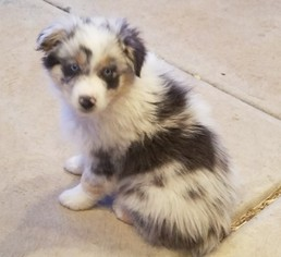 Australian Shepherd Puppy For Sale in HERRIMAN, UT, USA