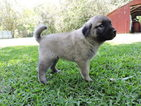 Anatolian Shepherd Puppy For Sale in ABITA SPRINGS, LA,