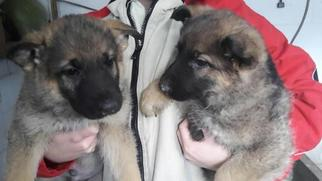 German Shepherd Dog Puppy For Sale in BLOOMINGDALE, OH