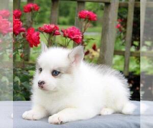 Pomeranian-Pomsky Mix Puppy for sale in GAP, PA, USA
