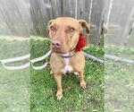 Small #134 American Staffordshire Terrier-Catahoula Leopard Dog Mix