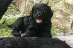 Goldendoodle-Poodle (Standard) Mix Puppy For Sale in SEFFNER, FL, USA