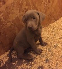 View Ad: Labrador Retriever Puppy for Sale near Michigan, KALAMAZOO