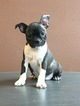 Boston Terrier Puppy For Sale in KNOXVILLE, IA, USA