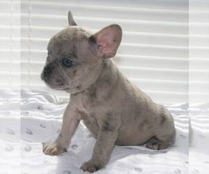 French Bulldog Puppy for sale in GALT, CA, USA