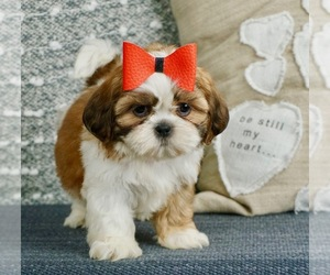 Shih Tzu Puppy for Sale in WARSAW, Indiana USA