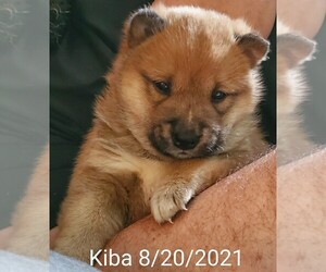 Shiba Inu Puppy for sale in NORTH LITTLE ROCK, AR, USA