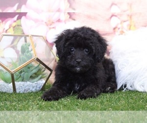 Poodle (Miniature) Puppy for sale in MARIETTA, GA, USA