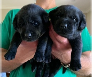 Labrador Retriever Puppy for Sale in LITTLE ROCK, Arkansas USA
