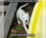 Small Photo #199 Dogo Argentino Puppy For Sale in PINEVILLE, MO, USA