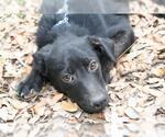 Small #32 Labrador Retriever Mix