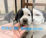 Puppy 4 Great Pyredane