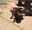 Olde English Bulldogge Puppy For Sale in FARMINGTON, NM,