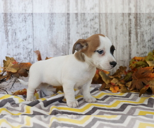 Jack Russell Terrier-Jug Mix Puppy for sale in SHILOH, OH, USA