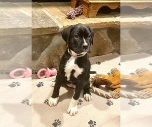 Boxador-Boxer Mix Puppy for Sale in CHERRY RUN, West Virginia USA