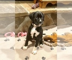 Puppy 1 Boxador-Boxer Mix