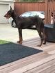 Doberman Pinscher Puppy For Sale in DALLAS, TX, USA