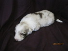 Border Collie Puppy For Sale in LOCKE, NY,