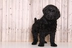 Moby Male Goldendoodle
