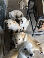 Goberian Puppy for Sale in LOS ANGELES, California USA