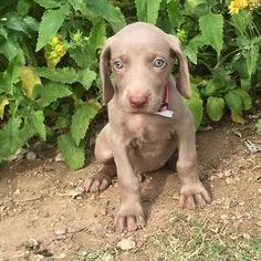 Weimaraner Puppy For Sale in DEVINE, TX