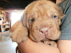 Dogue de Bordeaux Puppy For Sale in PORTERVILLE, CA