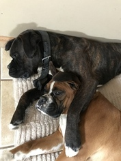 Father of the Boxer puppies born on 01/29/2019